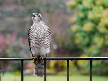 Sparrowhawk in the garden. Regular vistors to the garden are a pair of sparrowhawks, probably because I have a huge number of wee birds coming to eat at what royalty free stock image