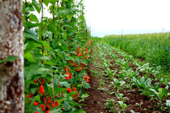 Regular, well organized haricot plantation. Red haricot flowers on a well organized plantation Stock Images