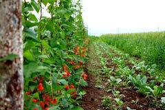 Regular, well organized haricot plantation Stock Images