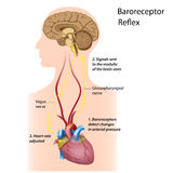 Regulation of blood pressure. By baroreceptor reflex, eps8 Stock Photography
