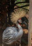 Regulorum de Grey Crowned Crane Balearica na paridade do nacional de Nairobi imagens de stock