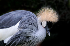 Regulorum di Grey Crowned Crane Balearica Fotografia Stock Libera da Diritti