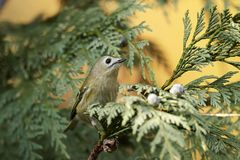 Regulus do Regulus de Goldcrest imagem de stock royalty free