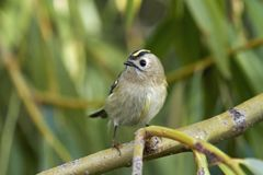 Regulus do Regulus de Goldcrest fotos de stock
