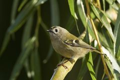Regulus do Regulus de Goldcrest foto de stock royalty free