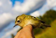 Regulus ( Goldcrest). The Regulus ( Goldcrest) is a very small passerine bird Stock Photo