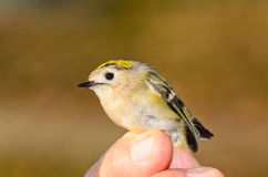 Regulus Goldcrest Royalty Free Stock Images