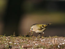 Regulus regulus, Goldcrest. Goldcrest on the ground in the forest Royalty Free Stock Photo