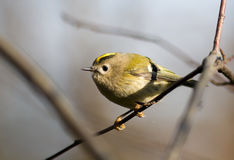Regulus regulus, Goldcrest Stock Images