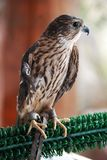 Rehabilitated Merlin Stock Photography