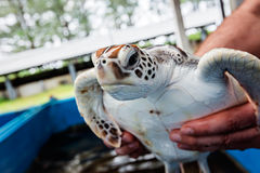 Rehabilitation Center to restore the number of turtles. Thailand Stock Photography