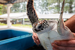 Rehabilitation Center to restore the number of turtles. Thailand Stock Image