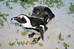 Rehabilitation in progress for damaged penguins. In 1985, a colony of protected South African penguins settled on the beach at Boulders Beach in Simonstown. Soon stock images