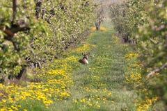 Rehbock liegt zwischen Apfelbäumen stockfotografie