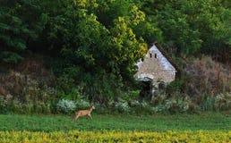 Rehbock vor einem verlassenen Gebäude Lizenzfreies Stockfoto