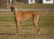 Stehendes great dane Stockfoto