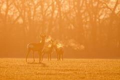 Rehe, Capreolus Capreolus, Morgenhintergrundbeleuchtungsschattenbild lizenzfreies stockfoto