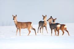 Rehe gruppieren im Winter an einem sonnigen Tag. Lizenzfreies Stockbild