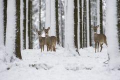 Rehe im Schnee während des Winters Stockfotografie