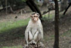 rehesus обезьяны Индии южное Стоковое Фото