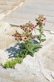 Rehmannia glutinosa flowers Royalty Free Stock Image