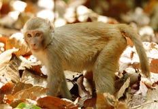 Rehsus Macaque die zich in medio van droge bladeren bevinden Royalty-vrije Stock Foto