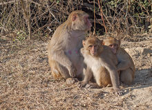 Rehsus macaque. Family at Keoladeo Ghana NP Royalty Free Stock Photo