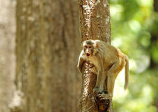 Rehsus Macaque holding the tree trunk Stock Photo