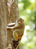 Rehsus Macaque making faces Stock Photos
