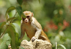 Rehsus Macaque peeping from the leaves Stock Image
