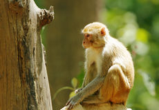 Rehsus Macaque sitting on anthill Stock Photos