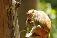 Rehsus Macaque sitting on termite mound Royalty Free Stock Image