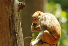 Rehsus makaka obsiadanie na termitu kopu Obraz Royalty Free