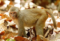 Rehsus-Makaken, der im mittleren von trockenen Blättern steht Lizenzfreies Stockfoto