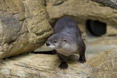 Reißaus nehmen des nordamerikanischen Fluss-Otters Stockbilder