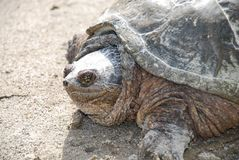 Reißende Nordschildkröte stockbilder