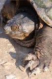 Reißende Schildkröte Lizenzfreie Stockfotos