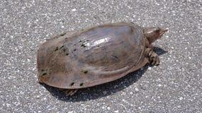 Reißende Schildkröte auf einer Straße Stockfotografie
