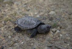 Reißende Schildkröte des Schätzchens Stockfoto