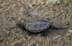 Reißende Schildkröte des Schätzchens Stockbilder