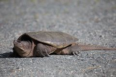 Reißende Schildkröten-Frau Lizenzfreies Stockbild