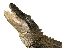 Reißendes Krokodil, getrennt Lizenzfreies Stockbild
