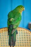 Rei australiano Parrot Female que senta-se na parte traseira da cadeira imagem de stock royalty free