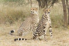 Rei Cheetah e chita, África do Sul imagem de stock