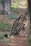 Rei Cheetah em África do Sul foto de stock