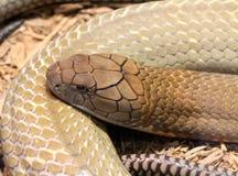 Rei Cobra Fotografia de Stock Royalty Free