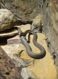 Rei Cobra Foto de Stock
