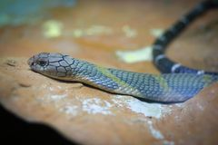 Rei Cobra Imagens de Stock
