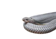 Rei Cobra Coiled Isolated no fundo branco, trajeto de grampeamento foto de stock royalty free