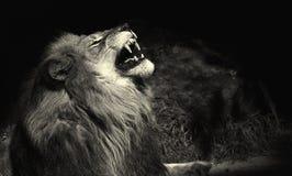 Rei da selva imagens de stock